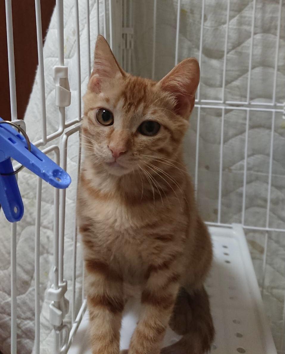 生後3ヶ月前後の茶トラ子猫(男の子)