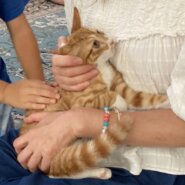 生後3ヶ月前後の茶白子猫(男の子)