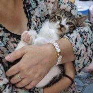 生後3ヶ月前後のキジ白子猫(男の子)
