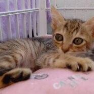 【保護猫】るん推定5ヶ月♀キジ