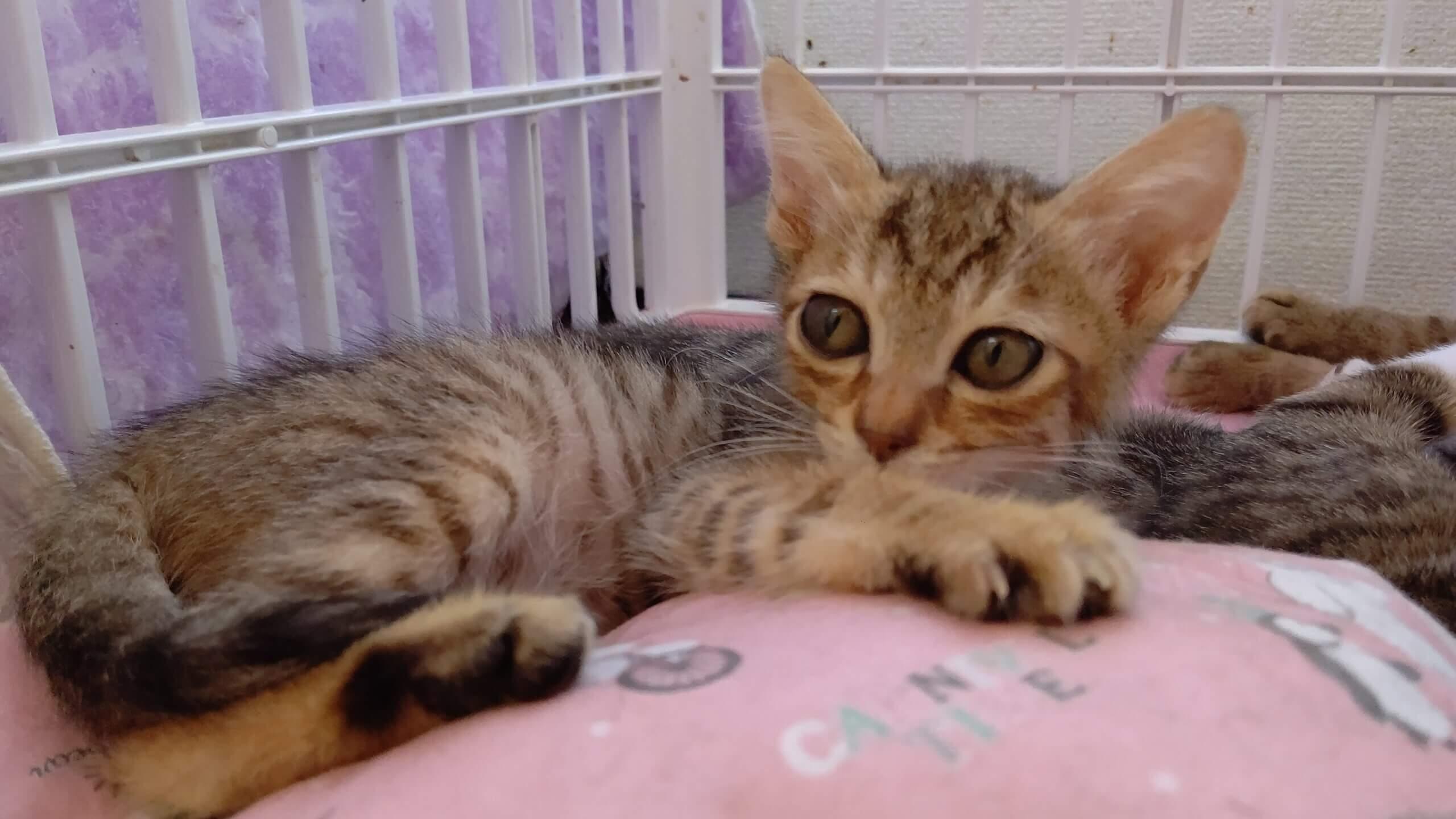 【保護猫】るん推定6ヶ月♀キジ