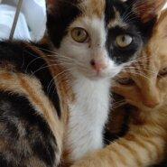 【保護猫】花推定4ヶ月♀三毛