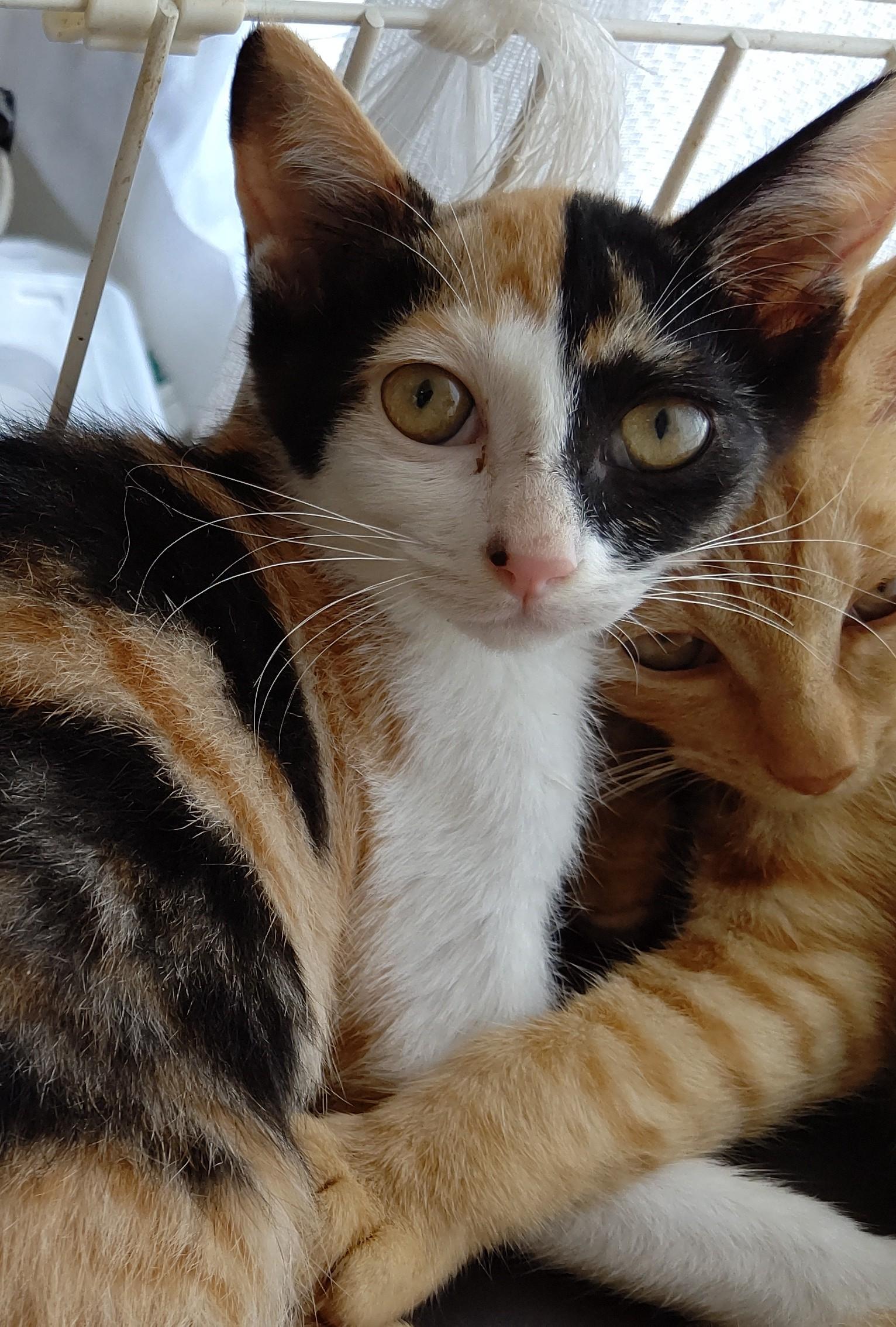 【保護猫】花推定5ヶ月♀三毛