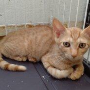 【保護猫】小太郎推定5ヶ月♂️茶トラ