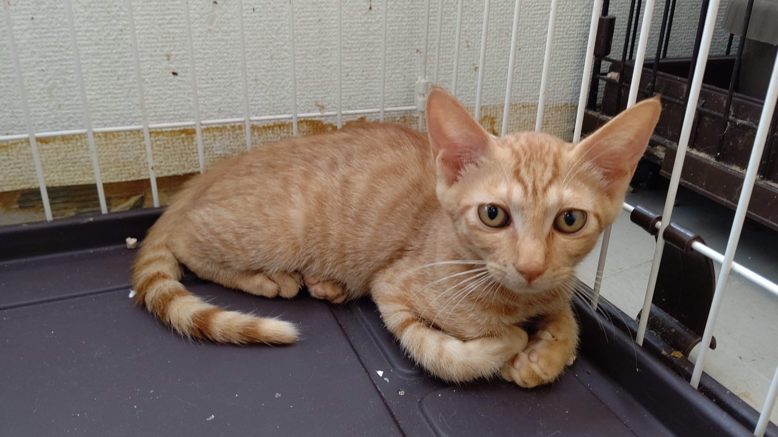 【保護猫】小太郎推定4ヶ月♂️茶トラ