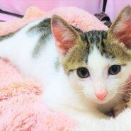 とても可愛い仲良し子猫二匹同時に引き受けてくれる里親さん募集!