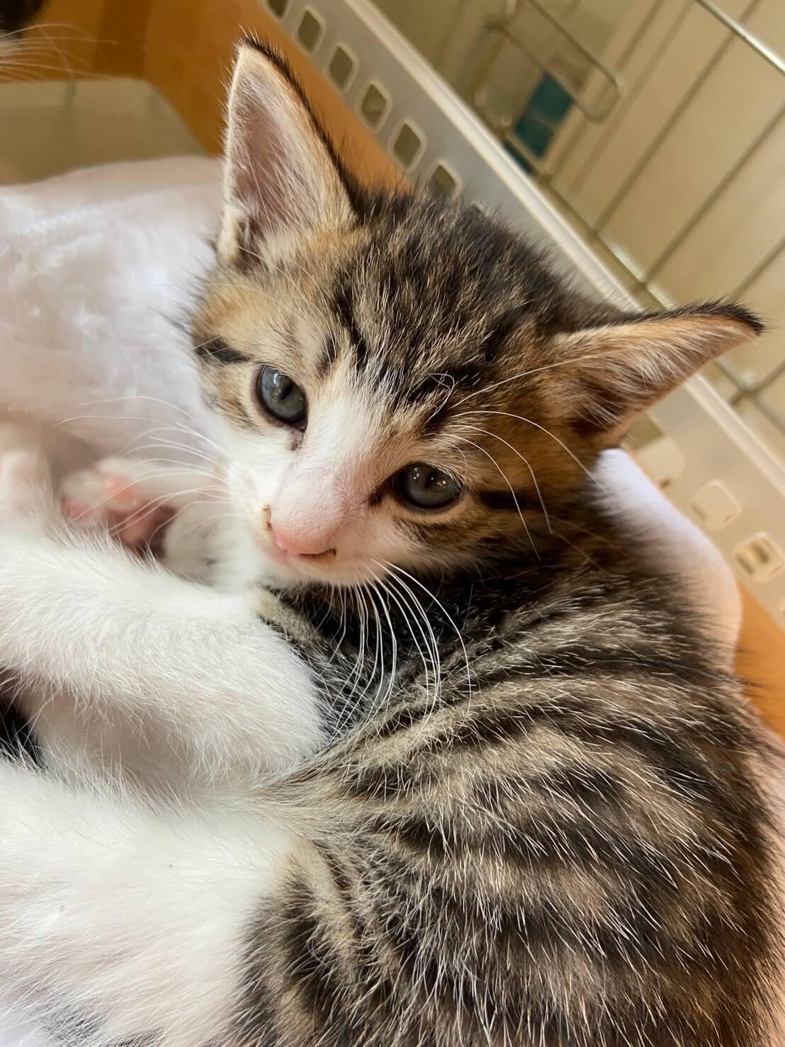 【保護猫】まいむ推定3ヶ月♂️キジ白