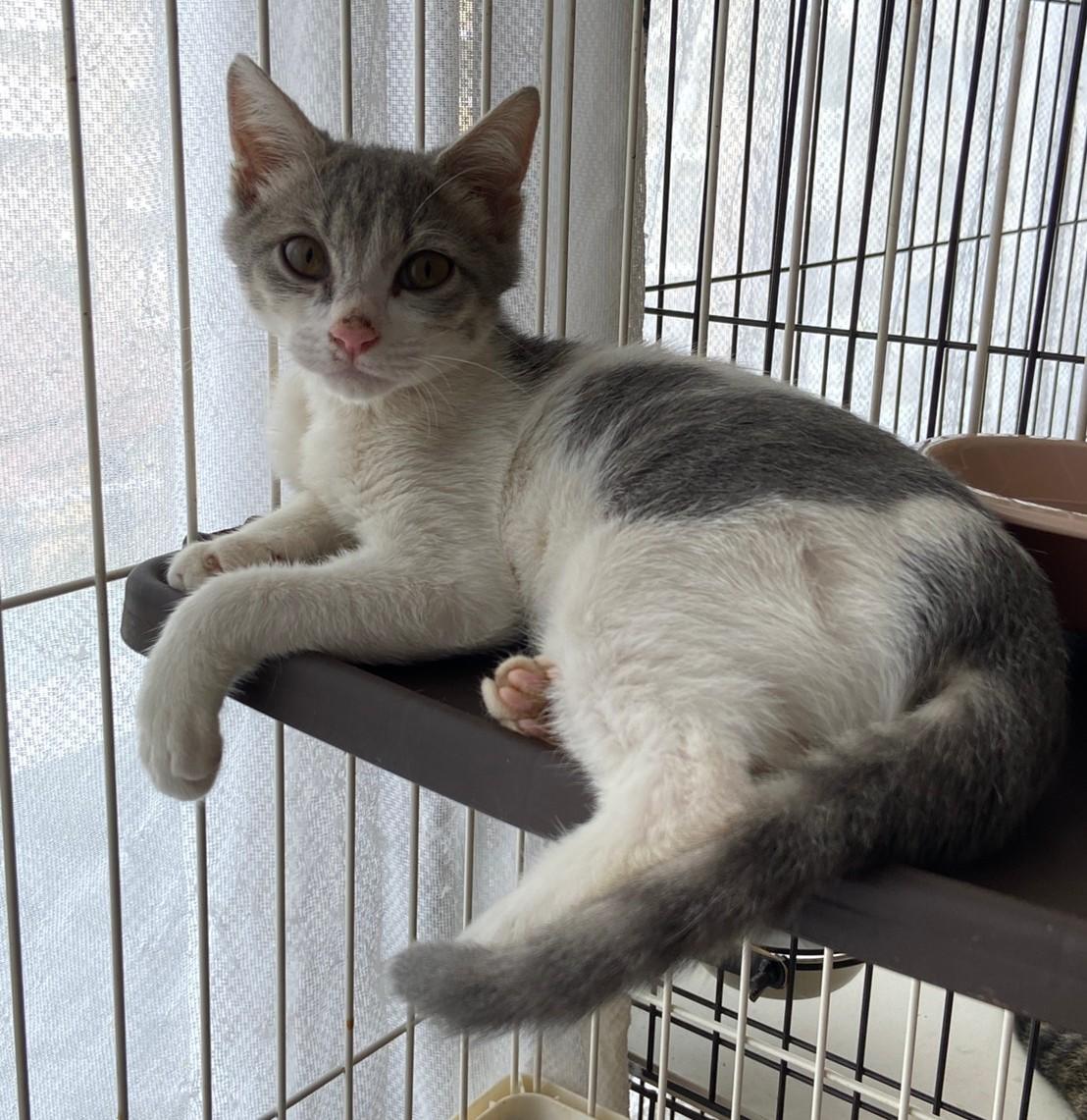【保護猫】そうた推定5ヶ月♂️グレー白ブチ