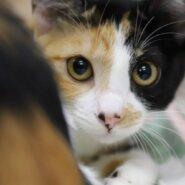 あさひ♡人懐こい美形三毛猫