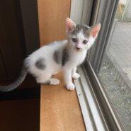 生後2ヶ月前後の子猫(女の子)