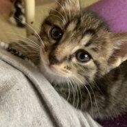 生後2ヶ月前後の子猫(男の子)