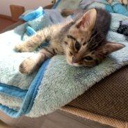 生後1.5ヶ月前後の子猫(男の子)