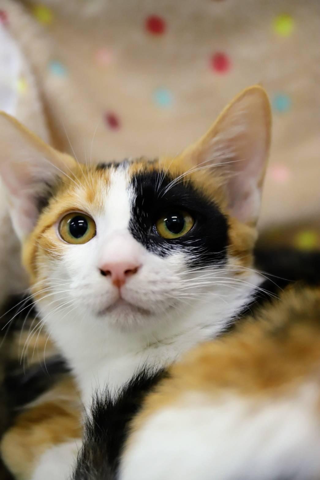 ゆうひ♡ちょっぴりSHYな三毛猫