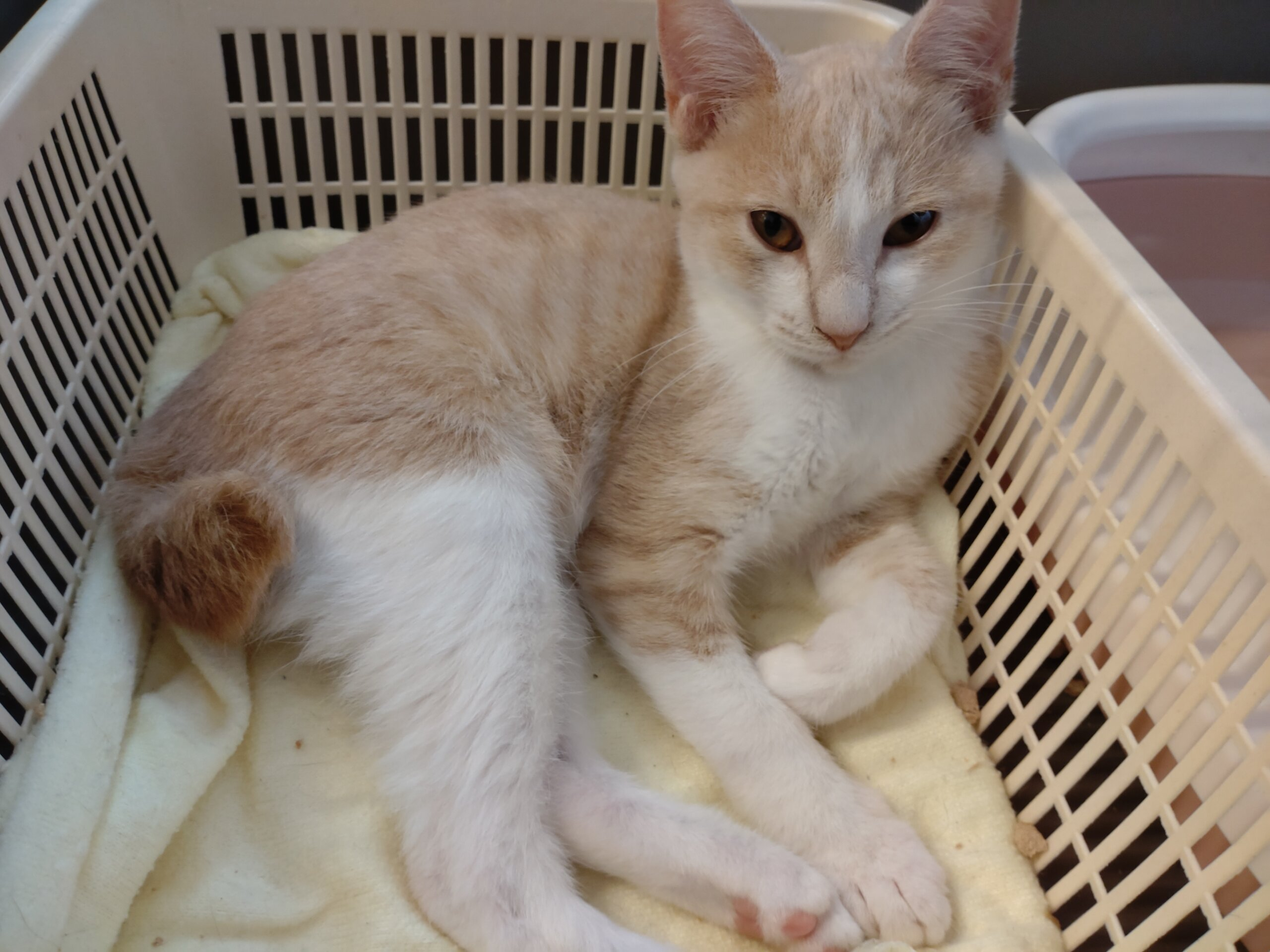 【保護猫】でん推定4ヶ月♂茶白