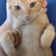 【保護猫】ぷー推定2ヶ月♂茶トラ