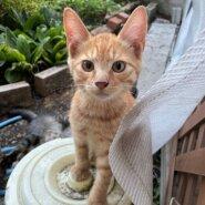 生後4か月前後の茶トラ子猫(男の子)