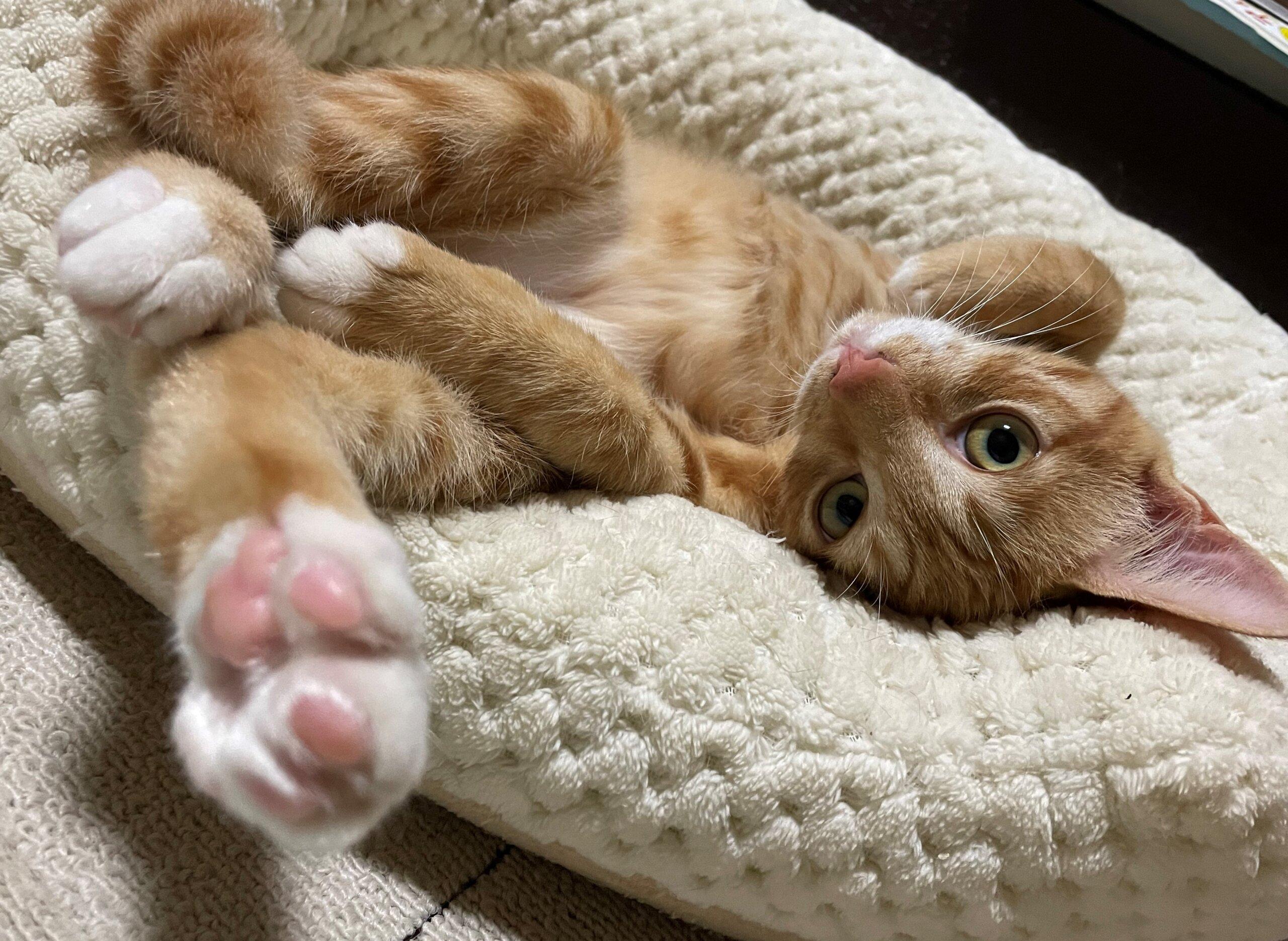 生後4か月前後の茶トラ子猫(女の子)