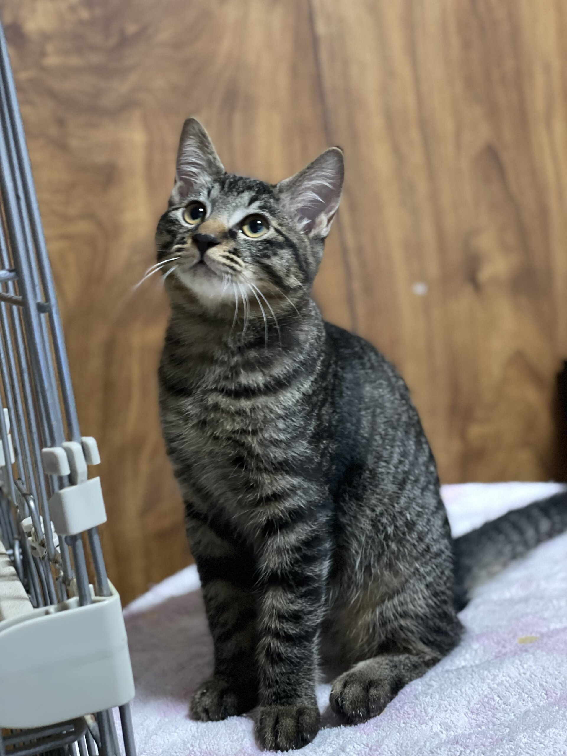 生後5ヶ月前後のトラ猫子猫(女の子)