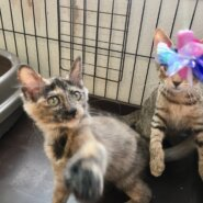 【保護猫】らん推定5ヶ月♀サビ