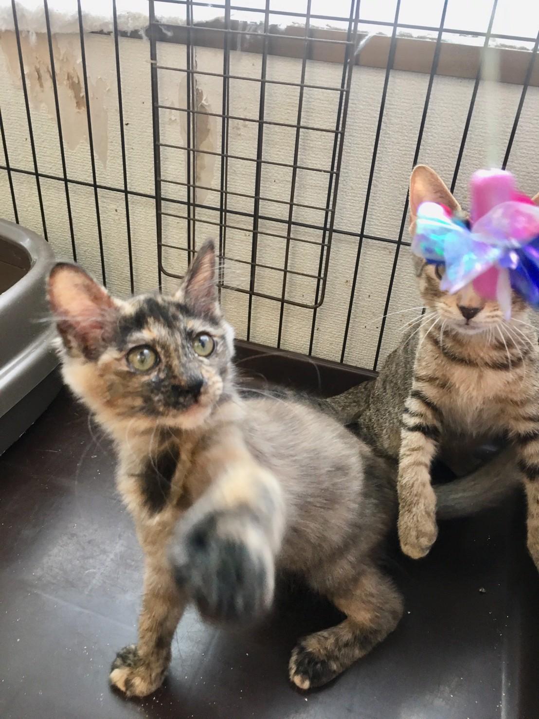 【保護猫】らん推定6ヶ月♀サビ