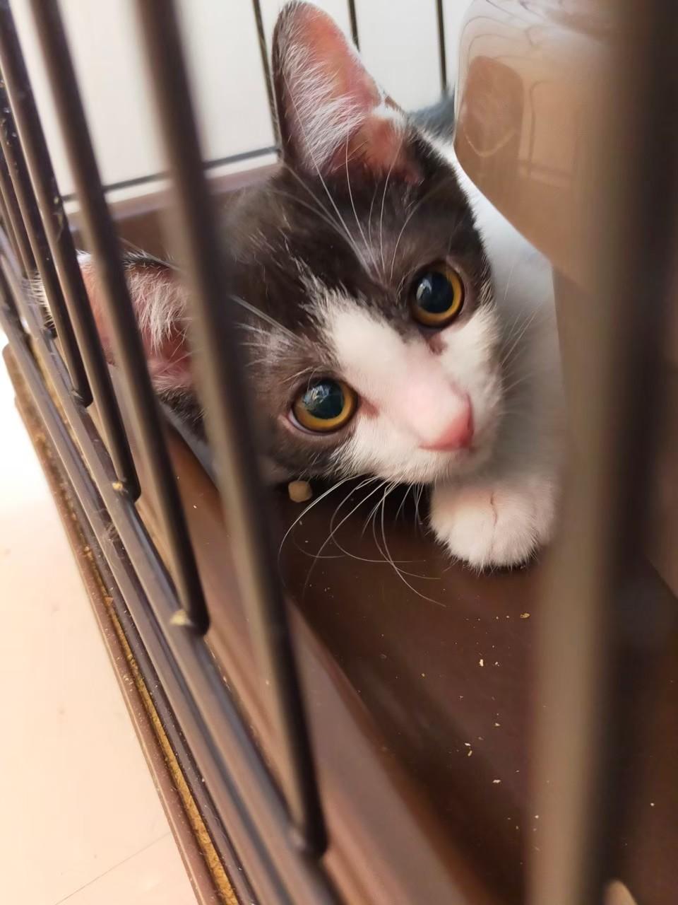 【保護猫】さら推定5ヶ月♂ハチワレ