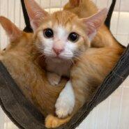 【保護猫】あーる推定2ヶ月♂茶白