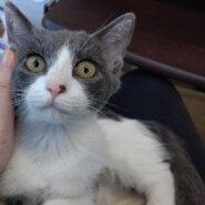 【保護猫】しらたま推定4ヶ月♀グレ白ハチワレ