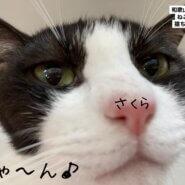 桜ちゃんは抱っこ出来る様になるまで、人馴れトレーニングを頑張りました!