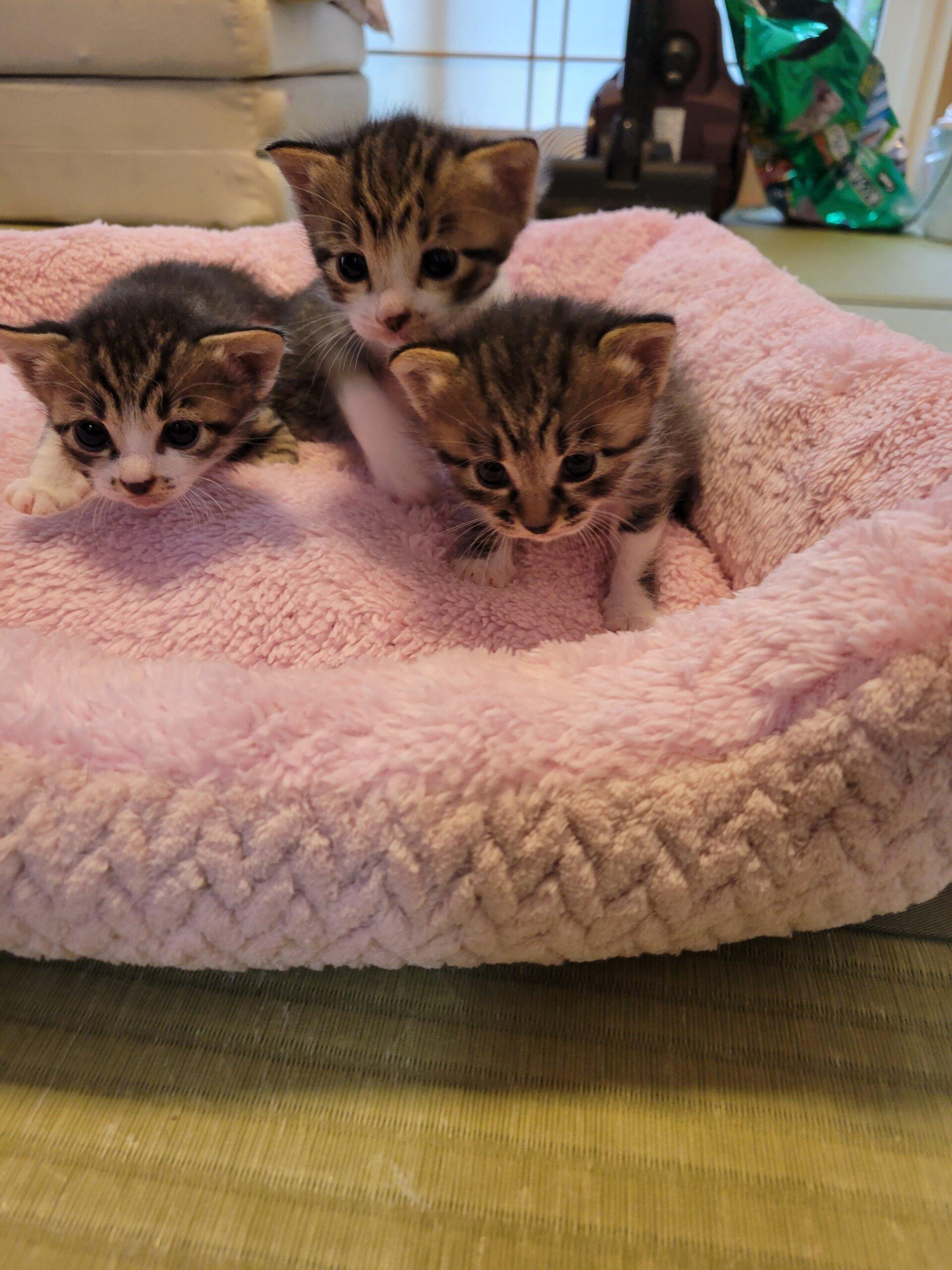 9月5日生まれの子猫(男の子1、女の子2)