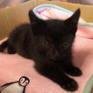 キュートな黒猫子猫(男の子)です!