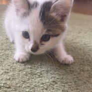 美人でしっぽが可愛い子猫