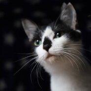 【猫初心者OK】マヒナ♡こんなに人懐こくていいの?