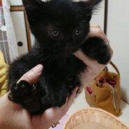 活発な黒猫子猫(男の子)です!