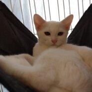【保護猫】ミル推定4ヶ月♀白猫