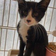 【保護猫】チロル推定4ヶ月♀白黒ハチワレ
